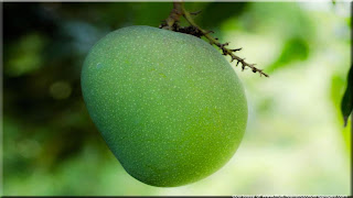 mango fruit images wallpaper