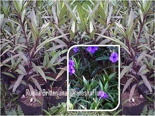 Ruellia Ungu (Ruellia Brittoniana)