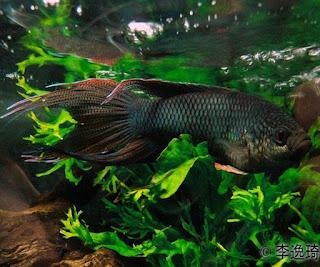 Cupang Paradise, Saudara Tercantik Ikan Laga