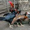 Usaha Ternak Ayam Bangkok Dengan Modal Kecil Untung Puluhan Juta Perbulan