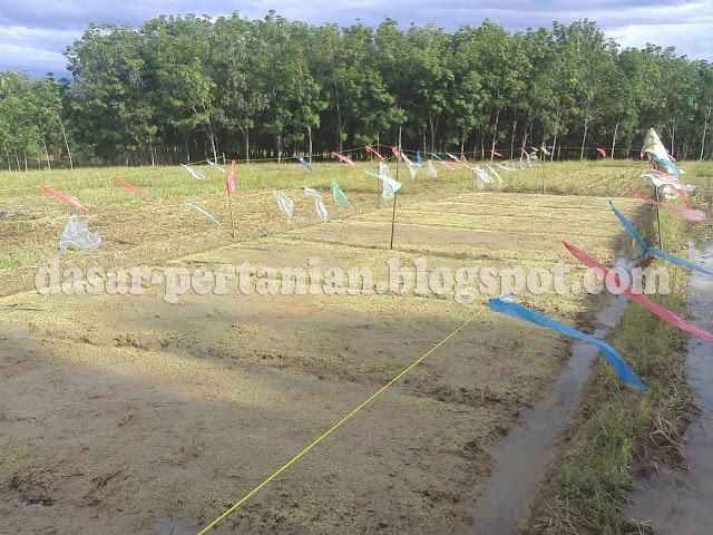 hal yang dilakukan oleh petani padi ialah melaksanakan persemaian padi atau membuat pembibi Inilah Cara Ampuh Mencegah Hama Burung Pada Penyemaian Padi