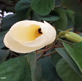 BAUHINIA TOMENTOSA FLOWERS இறுவாட்சி பூ