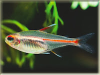 Glowlight Tetra Fish Pictures