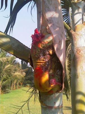 ganesh-ji-in-coconut-tree-wallpaps