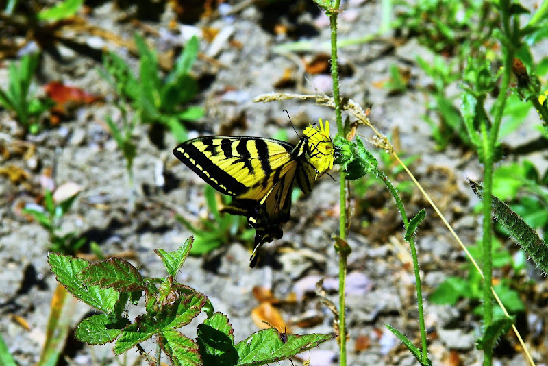 Tiger Swallowtail Butterfly Oso Flaco Lake Trail Central California Weekend Getaway