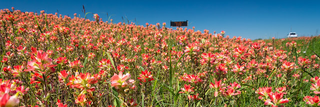 Indian Paintbrush, I-35E North of Waco