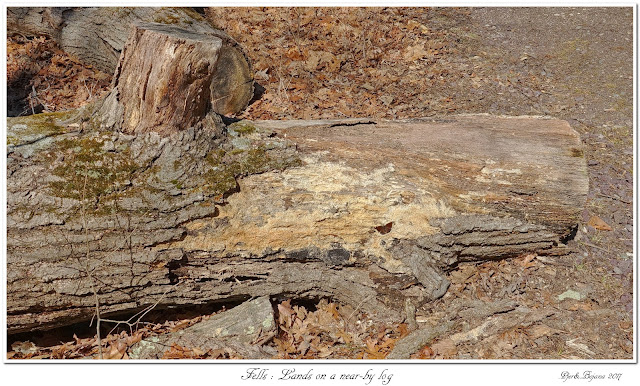 Fells: Lands on a near-by log