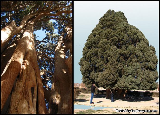 Pokok Sarv-e-Abarkooh