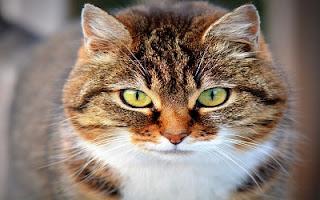 Occhi verdi gatto