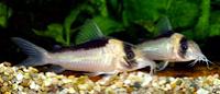 Jenis Ikan Corydoras imitator