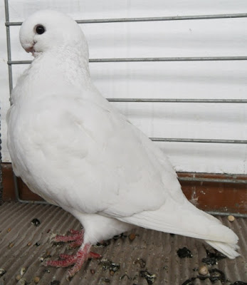 white owl pigeons - white african owl