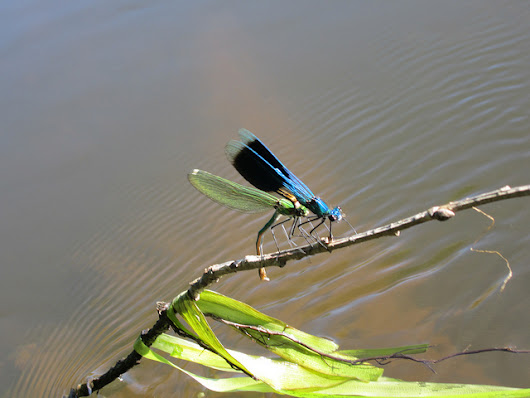 The dance of the #Blue #dragonflies in southern #France