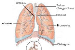 Paru-paru Dan Cara Merawatnya