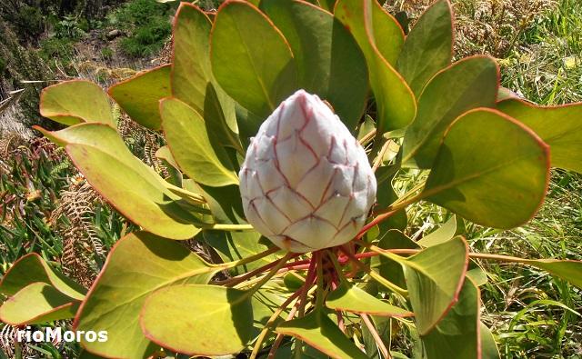 PROTEA gigante Protea cynaroides