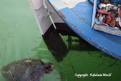 Kefalonia Caretta Caretta Turtle