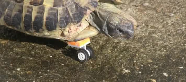 The turtle with the special prosthetic leg