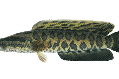 Cara Budidaya Ikan Gabus Agar Cepat Besar