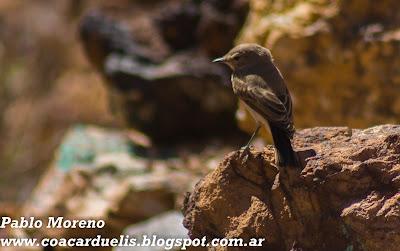 "alt=""dormilona,aves de Mendoza,dormilona chica,Muscisaxicola maculirrostris"""