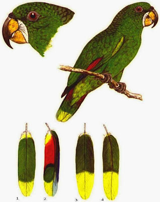 Amazona de Kawall: Amazona kawalli