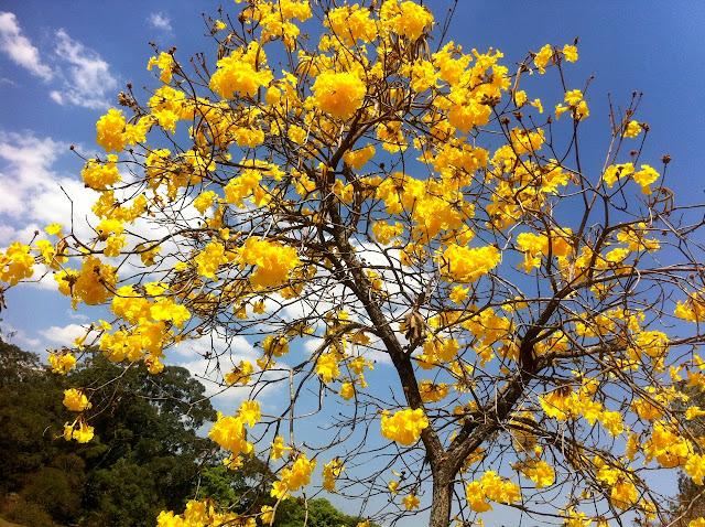 Ipê amarelo Parque Ibirapuera