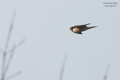 Vándorsólyom - Peregrine Falcon - Wanderfalke - Falco peregrinus