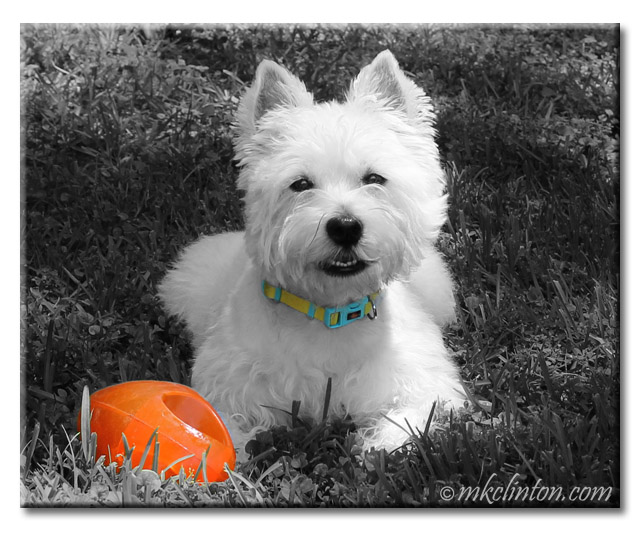 Pierre the Westie smiling with orange ball.