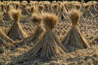 Jerami padi digunakan sebagai pakan ternak