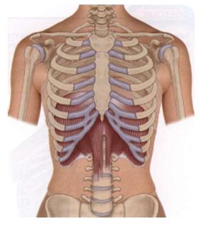Recuerdo Anatómico del Raquis Dorsal