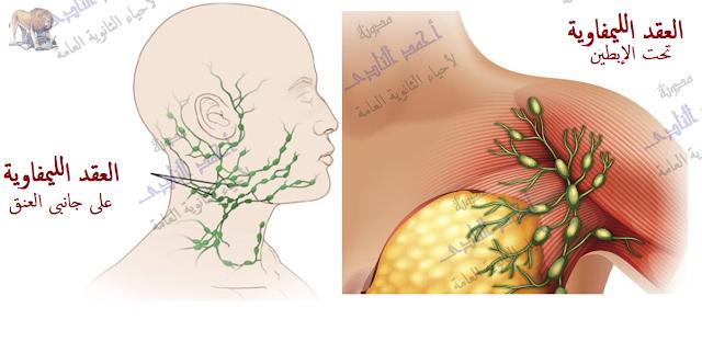 الجهاز المناعى - تركيب - الأعضاء الليمفاوية المحيطية -العقد الليمفاوية