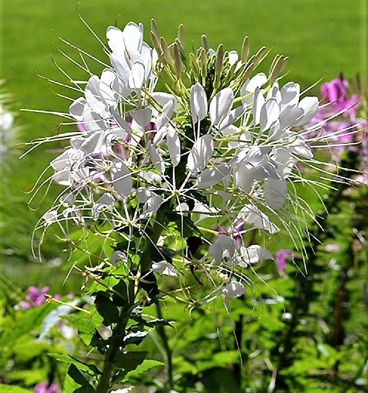Comb.S//H RARE Hot PINK // WHITE Spider Flower 25 SEEDS SEE OUR STORE! CLEOME