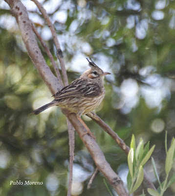 "alt=""crestudo,coryphistera alaudina,aves de Mendoza"""