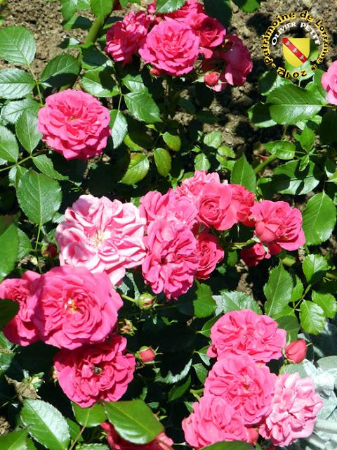 VILLERS-LES-NANCY (54) - La roseraie du Jardin botanique du Montet - Rose Elmshorn
