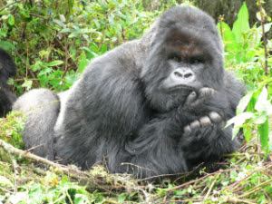 A Silverback Mountain Gorilla ponders his grim future