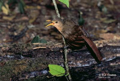 Papuan Babbler