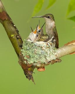 hummingbird nest colibri