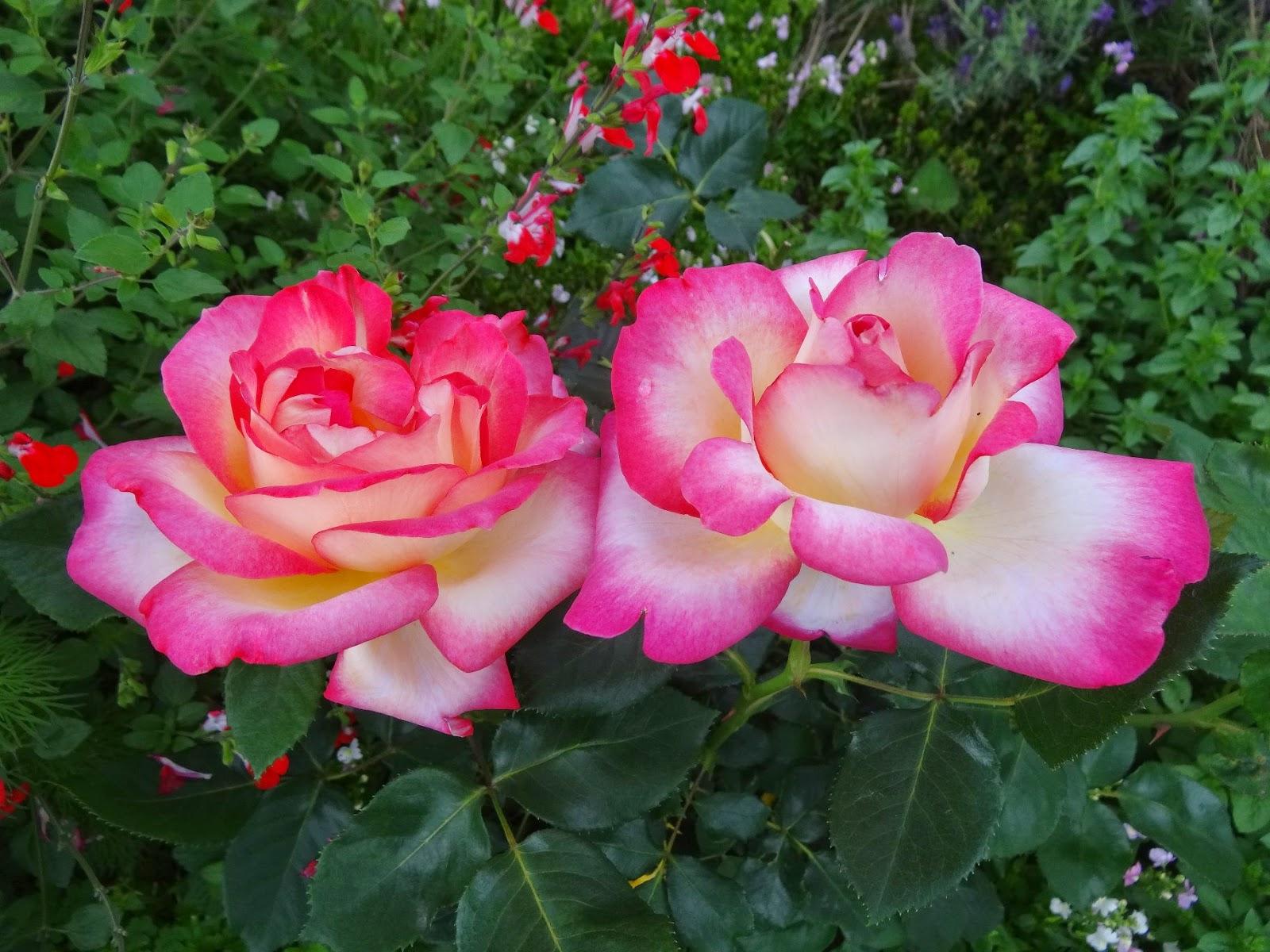 ドリーミング: マルコじいさんのお花畑: 140526 我が家のバラ、一挙掲載