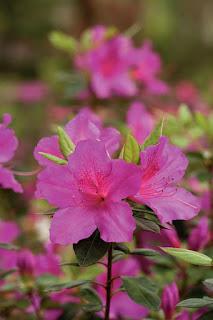Gambar Bunga Azalea yang Indah 2