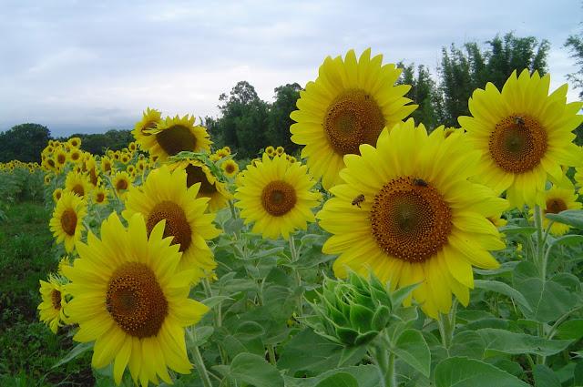 A planta produz grandes flores, com aproximadamente 30 cm de diâmetro, e caule que pode atingir até 3 metros de altura.  E, como seu próprio nome diz, a flor apresenta o comportamento de girar, acompanhando a movimentação do Sol. Esse comportamento vegetal é chamado de heliotropismo.