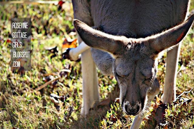 Image of a kangaroo at the Nashville zoo by rosevinecottagegirls.com