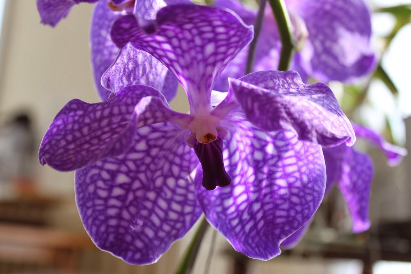 micha 39 s orchideen vanda coerulea. Black Bedroom Furniture Sets. Home Design Ideas