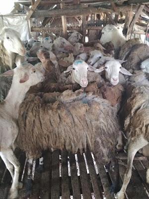Harga Domba Qurban Murah