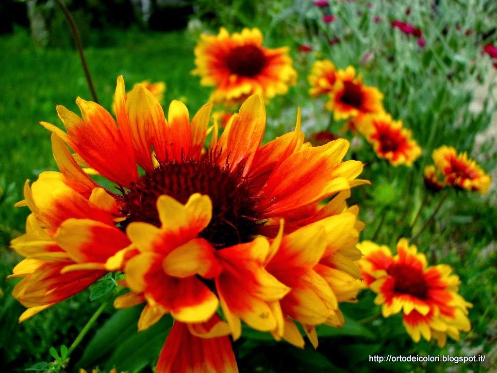 L 39 orto dei colori fiori estivi for Fiori estivi perenni