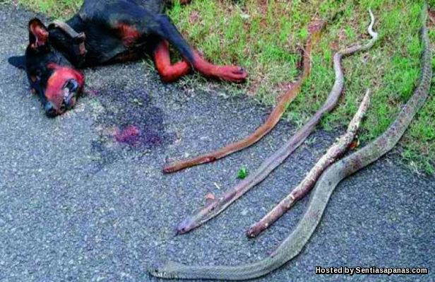 Dobermen+Dog