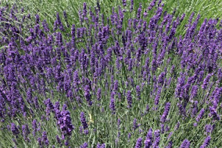 field of lavender flowers from which lavender essential oil is made