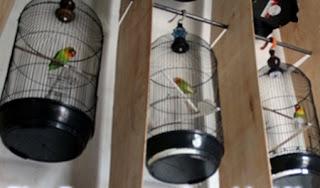 Cara Membuat Lovebird Nagen Tidak Turun Tangkringgan