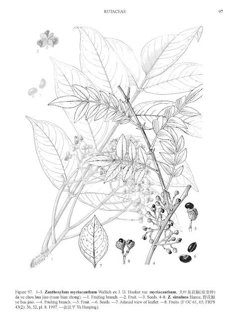 Pieprzowiec syczuański (Zanthoxylum simulans/bungeanum) - co to za roślina, jak rośnie? Uprawa, pielęgnacja, pochodzenie, kwiaty, owoce, występowanie. Czy można uprawiać w gruncie pieprzowca chińskiego? Dziwne roślinu przyprawowe, egzotyczne azjatyckie drzewa do uprawy w guncie i doniczce w Polsce. Pieprz syczuański jak rośnie, jak uprawiać i dbać o drzewko egzotyczne.