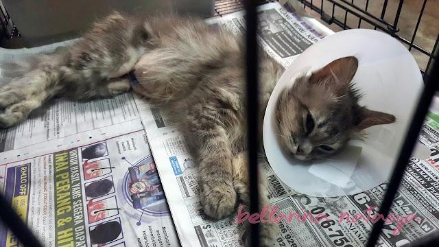 Kucing Selepas Pembedahan Pyometra