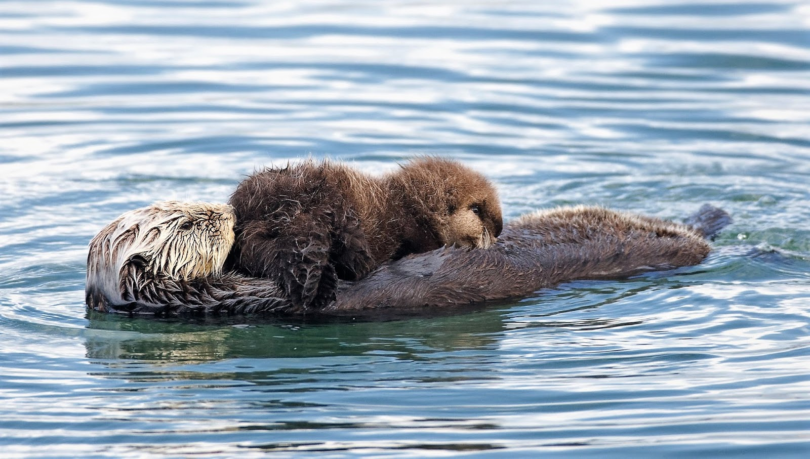 zweten als een otter