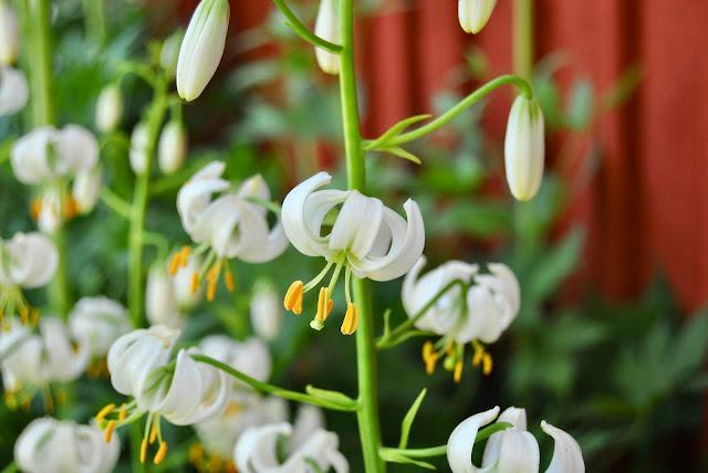 Lillium martagon Alba