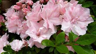 Arti bunga azalea